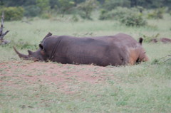 Rhinos (John D McKenna) Tags: elephant bird southafrica crane lion rhino giraffe wildebeest kruger sodwana barbet kurisamoya