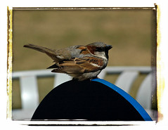 Sparrow on a garbage can (@klawrenc) Tags: ontario bird guelph sparrow kimlawrence