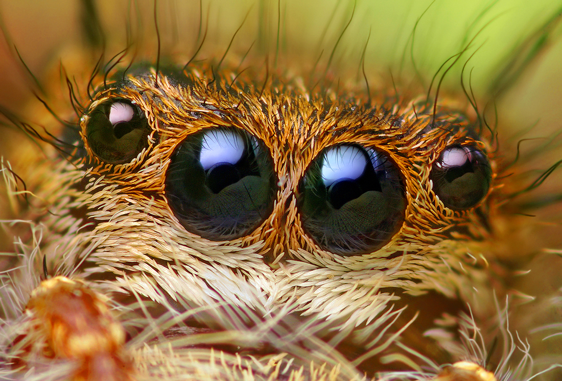 Spider close-up: Eyes of a Phidippus princeps Jumping Spider