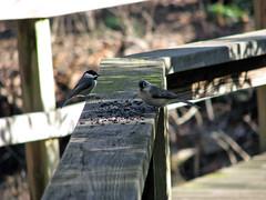 Dinner Date (greensboropenguin) Tags: park wood trees lake black bird fall yard fence garden nc backyard north greensboro walkway chickadee carolina titmouse tufted bogg greensboropenguin jayneff