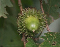 Turkey Oak acorn IMG_3809