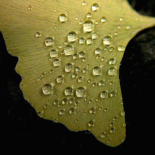 water drops on a ginkgo leaf