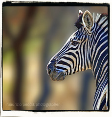 ZEBRA KRUGER (peo pea) Tags: africa nature animals bush natura safari zebra animali kruger sudafrica naturalmente mammiferi colorphotoaward aplusphoto peopea artofimages updatecollection ucreleased