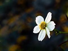 Flor de Te (Alejandro Espinosa) Tags: flower macro flor te ltytr2 ltytr1 exhibetusfotos