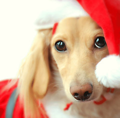 Santa Honey (Doxieone) Tags: santa christmas red dog english hat cream dachshund honey final blonde getty 12 mostpopular coll ggg 2do theset final1 honeydog topfavorite thelittledoglaughed englishcream colorphotoaward xmas2008 honeyset 12daysofhoneyset2008