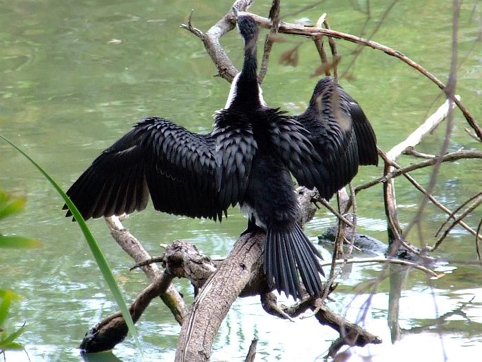 cormorant 02