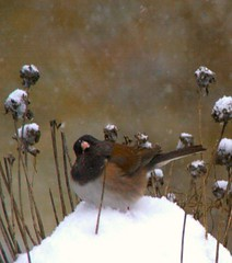 Junco with Chive Seeds in Snow