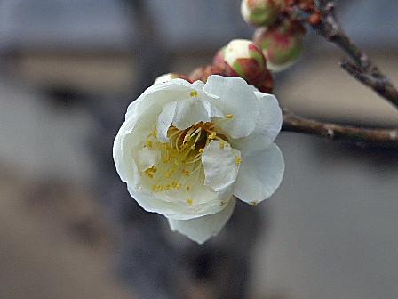 梅の花(白)~笹川流れ