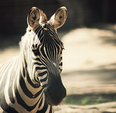 Zebrah! (margyyy) Tags: zebra stripped animalplanet