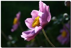 ANEMONE (PHOTOPHOB) Tags: sex estate zomer verano otoo vero t ranunculaceae outono jesie windrschen lato lto sonbahar efterr anmones photophob