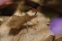 Syromastus rhombeus (Will_wildlife) Tags: macro bug pentax wildlife sandy thelodge rspb sigma105 hemiptera raynoxdcr250 k20d syromastusrhombeus