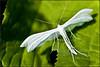 *** (│JL│) Tags: macro papillon nuit blanc pterophorus ptérophore