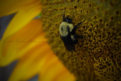 Sunflower Bee (Xquisite Xposure) Tags: flower yellow photo nikon bee sunflower xposure xxp xquisite