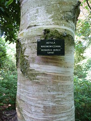 """Betula Maximowicziana """"Monarch Birch"""" • <a style=""""font-size:0.8em;"""" href=""""http://www.flickr.com/photos/61957374@N08/5850303858/"""" target=""""_blank"""">View on Flickr</a>"""