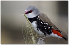 Diamond Firetail (Himadhu) Tags: red brown black bird ilovenature gray spots aviary captive canoneos350d passeriformes estrildidae stagonopleuraguttata diamondfiretail diamondfiretailfinch canonef100300mmf4556usm spotsidedfinch