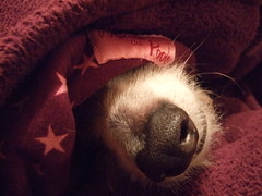 Snuffly (wickamoo) Tags: sleeping dog nose purple hound winniethepooh dressinggown muzzle comfy nostrils lurcher bung snoozy