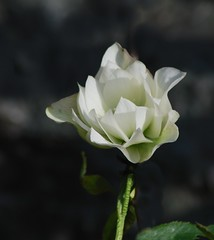 Pure Drama (West Coast Eyes) Tags: white plant dramatic hellebore delicate simple springflowers prettythings signofspring