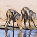 Jackals Drinking - South Africa