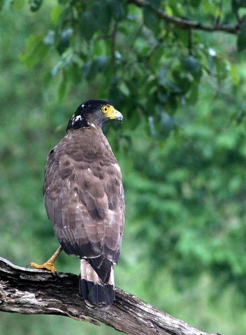 crested serpent eagle bandipur 270408