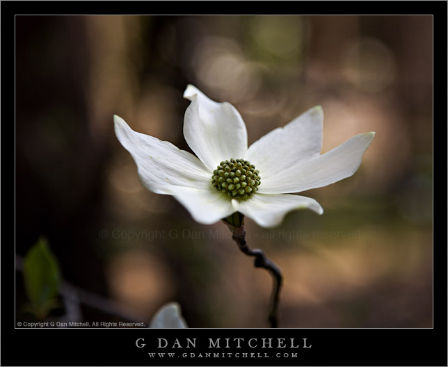 Dogwood Blossom - Yosemite Valley
