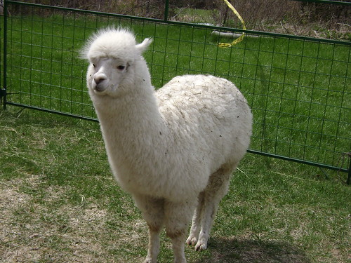 alpaca 029