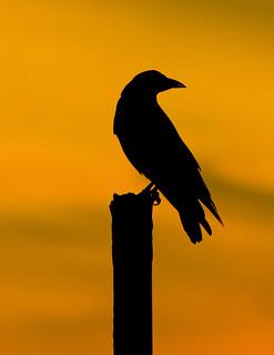 Crow Silhoutte