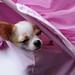 チワワ:Chihuahua_26