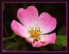 IT'S A BEAUTIFUL DAY (brynmeillion - JAN) Tags: pink rose wales u2 fdsflickrtoys cymru wildrose ceredigion soe dogrose onblack pinc rhosyngwyllt rhosyn itsabeautifulday flowerotica llandyfriog platinumphoto anawesomeshot top20pink top20everlasting theperfectphotographer goldstaraward oraclex