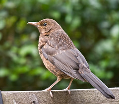 Blackbird / Merel (robelsas) Tags: holland bird nature netherlands dutch birds garden backyard nederland vogels natuur tuin blackbird vogel merel potofgold lifeasiseeit aplusphoto avianexcellence diamondclassphotographer flickrdiamond flickrestrellas qualitypixels