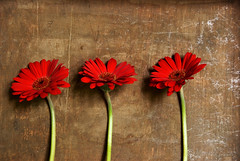 Threesome (Maritte Budel) Tags: flowers red gerbera platinumheartawards nouvellephotography flickrestrellas goldenheartaward
