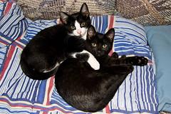 Cuddly Minnie and Remi (The Cat's MeOM) Tags: white black sisters cat snuggle hugging hug kitten chat all kitty kittens 2006 tuxedo gato cuddly cuddle hugs katze minnie tuxedocat gatto remi gatinho snuggles gatito snuggling chaton gattino cathug kittyhug kittyhugs katzchen cathugs kittenhug kittenhugs