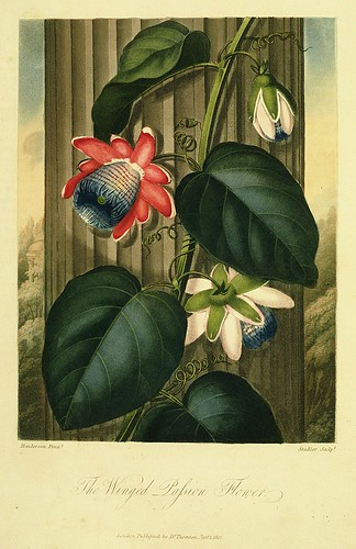 15- Flor de la pasion con alas