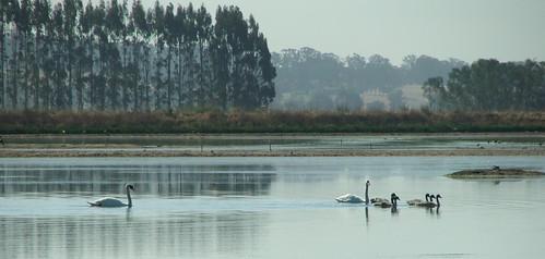 Wetland Swan Family