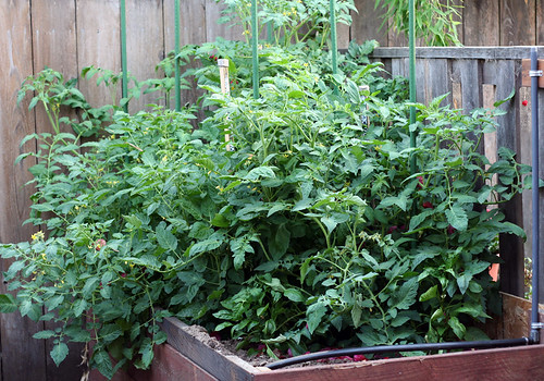 Bill's tomatoes: Late June