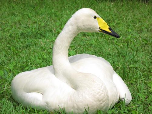 白鳥 │ 動物 │ 無料写真素材