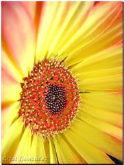 Cara a Cara con una Margarita (★☆Gigi☆★) Tags: flores flower macro yellow flor margarita amarilla colorphotoaward ltytr2