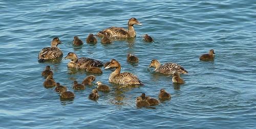 baby eider ducks