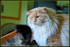 The bully (fastcat!) Tags: cats liza george chats july gatos mainecoon katze bully 2008 furflying kittystormtroopers theperfectphotographer