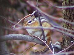Chipmonk up a tree (sylkky2) Tags: goldstaraward naturethroughthelens