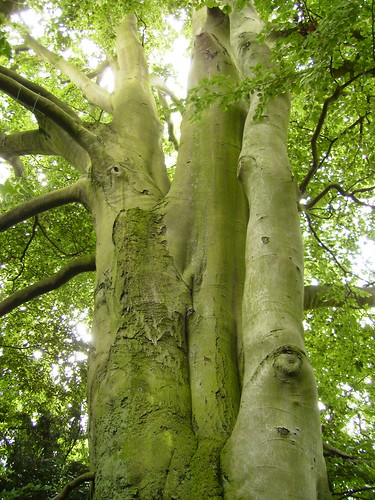 The biggest Beech tree I have ever seen