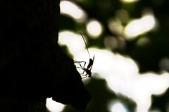 Ver o mundo nas pequenas coisas, (Fabiana Velso) Tags: luz bokeh preto explore inseto tronco escuro frente pequeno segredo besouro maribondo duetos frenteafrente fabianavelso