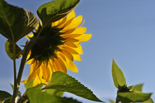 Nifty Fifty: Sunflower