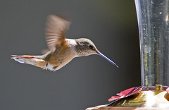 Hummingbird feeding (BWJones) Tags: bird hummingbird broadtailedhummingbird selasphorusplatycercus