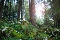 light and moss (kwk57) Tags: tree verde green alberi moss hood muschio bosco foresta pineta