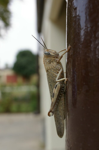 Large Grasshopper  by you.