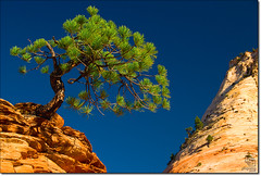 Zion's Most Famous Tree (Phijomo) Tags: nature pinetree pine landscape outdoors nikon scenic zion zionnationalpark mesas highway9 d80 nikond80 theperfectphotographer zioneast mtcarmelhighway