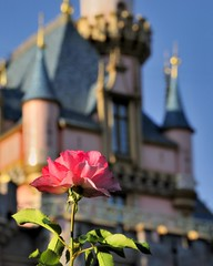 Disney - Disneyland Rose (Explored) (Express Monorail) Tags: california pink usa flower castle colors beautiful beauty rose america wonder geotagged interestingness colorful princess bokeh disneyland magic dream kingdom wed bluesky disney mickey depthoffield fantasy aurora mickeymouse imagine theme imagination blueskies wish orangecounty anaheim nikkor walt magical dl dlr themepark sleepingbeauty magickingdom attractions fantasyland waltdisney sleepingbeautycastle floribunda wdi disneylandresort imagineering floribundarose disneyprincesses flickrexplore princessaurora explored 18135mm disneylandrose disneyparks 81508 expressmonorail mainstreethub waltdisneyimagineering waltereliasdisney nikond300 geo:lon=117919087 disneyicon disneyphotochallenge joepenniston disneyphotography august152008 geo:lat=33812511