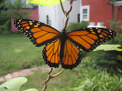 Monarch, wings open