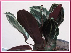 Calathea roseo picta cv. 'Eclipse' with leaves folded up at dusk