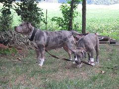 Pebbles & Montego MX (CharJens) Tags: pit bull pitbull american bully ...